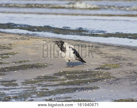 Hooded Crow Corvus Cornix crying close-up portrait at sea shoreline selective focus shallow DOF