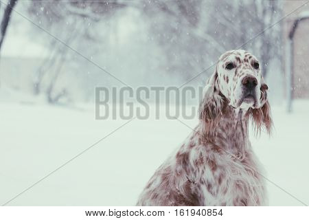 Christmas spotty setter portrait with white snow and christmas tree around