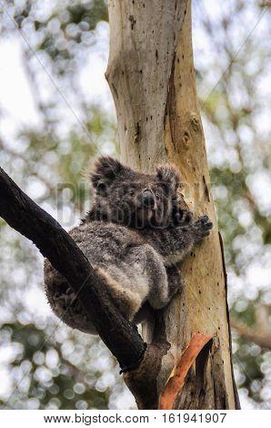 Koala On A Tree On The Great Ocean Road, Australia