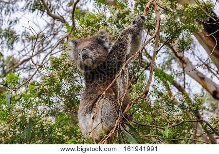 Koala Watching On The Great Ocean Road, Australia