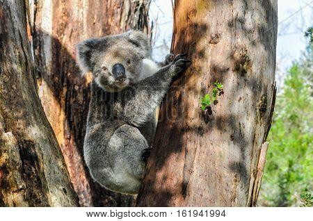 Koala On The Great Ocean Road, Australia