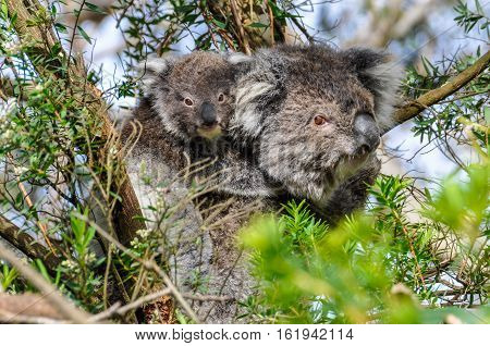 Koala Carrying Baby On The Great Ocean Road, Australia