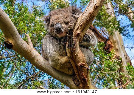 Sleeping Koala On The Great Ocean Road, Australia