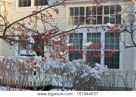 Crab Apple drupes with snow and town home in background.