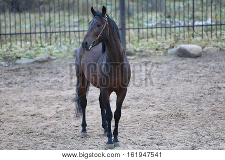 Russia, a young Bay horse in Livadia