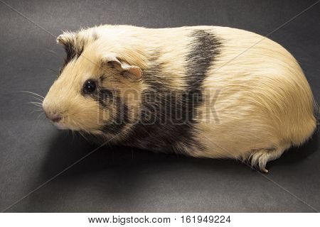 The Guinea Pig On A Black Background