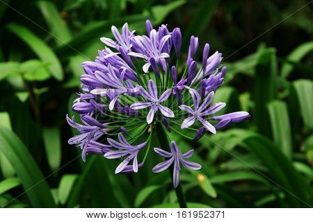 a violet flower of madeira on a background greenery consisting of many individual flowers with six petals and stamens