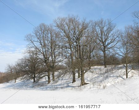 Winter sunny day, snow glade and oaks on a not high hill