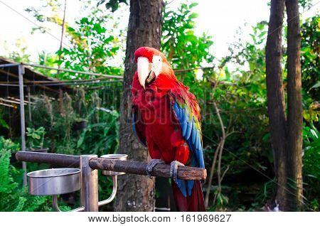 The largest macaws are the hyacinth, Buffon's (great green) and green-winged macaws. While still relatively large, macaws of the genera Cyanopsitta, Orthopsittaca and Primolius are significantly smaller than the members of Anodorhynchus and Ara. The small