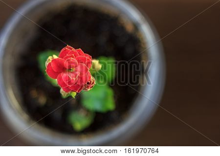 Small Kalanchoe Homeplant In A Transparent Pot. Red Kalanchoe Flower