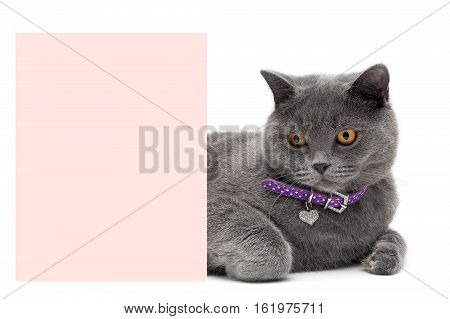 Cat in a beautiful collar is about a banner on a white background. horizontal photo.
