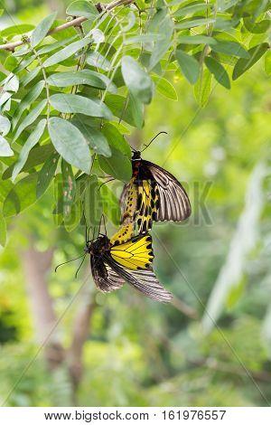 Common birdwings butterflies are breeding on branch