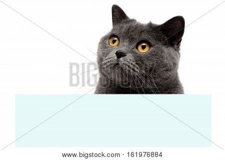 gray cat with yellow eyes sitting at the banner. white background - horizontal photo.