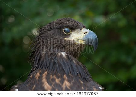 Portrait of forbidding bird against green background. Bird - Tawny Eagle (Aquila rapax). Eagle's eye is closed partially with reyelid - ara avis.