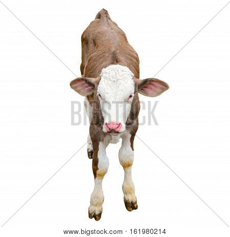 Funny cute calf isolated on white. Looking at the camera brown young cow close up. Funny curious calf. Farm animals. Calf close looking at the camera