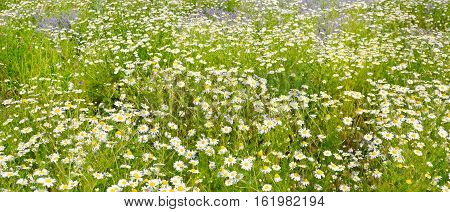 Background of blooming daisies. Focus on the foreground. Shallow depth of field