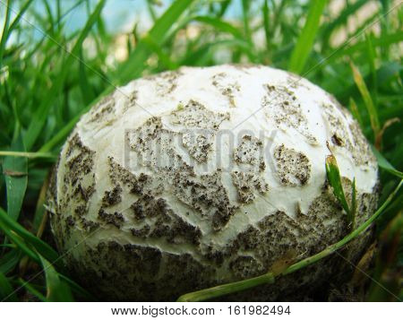 mushroom raincoat-round-shaped fruit of white color it grows almost everywhere
