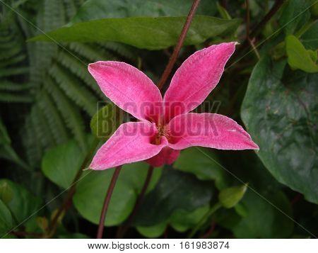 Clematis flower in bloom, pink Princess Diana