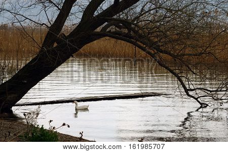 a white duck is swimming on the Lake in Iznik, Bursa