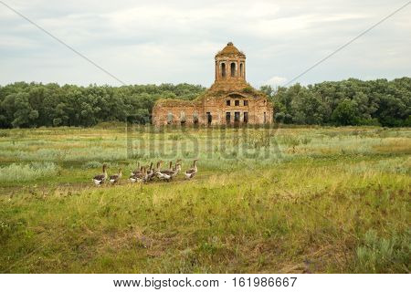 Thrown old church on a green countryside meadow and grazing geese