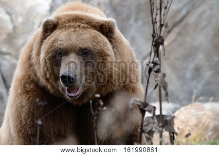 A grizzly bear sitting outside during summer
