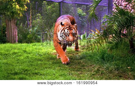 adult tiger in captivity Looking straight at the camera