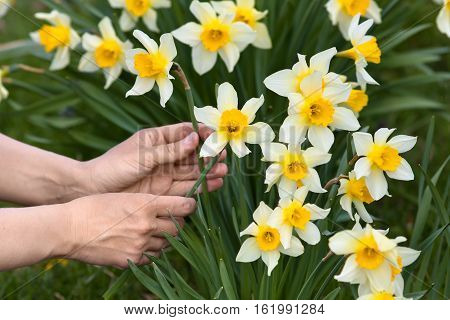 closeup of hands picking narcissus flowers in the garden