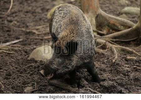 Russia,Karelia wild boar wild boar is in the zoo.