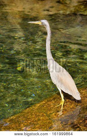 Great blue heron Latin name ardea herodias