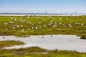 sea gulls, Parc Regional de Camargue, Provence, France poster