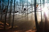 Autumn forest in the fog. Magic sun rays making the way through the trees. poster