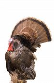 splendid eastern turkey tom prepared by taxidermy. 12mp camera, isolated. poster