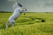 A grey horse rearing in a wheat field poster
