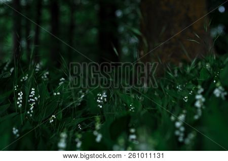 Flowering Lilies Of The Valley In The Forest Grass. Forest Lilies Of The Valley. Many Lilies Of The