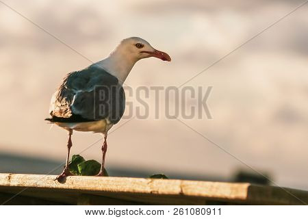 Big Gray Seagull With A Red Beak, Stole Leaf Of Lettuce And Eat Standing On The Wooden Plank.