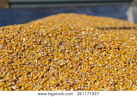 Freshly Harvested Grain Corn In A Grain Trailer During The Autumn Harvest.