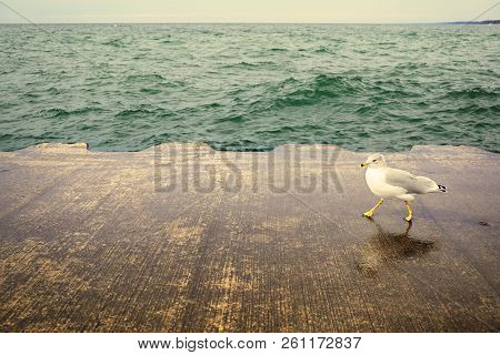 The Seagull Is Walking Along The Pier On A Bright Day. The Wildbird Funny Walks On The Concrete Cove