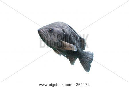 Sea Bass Against White