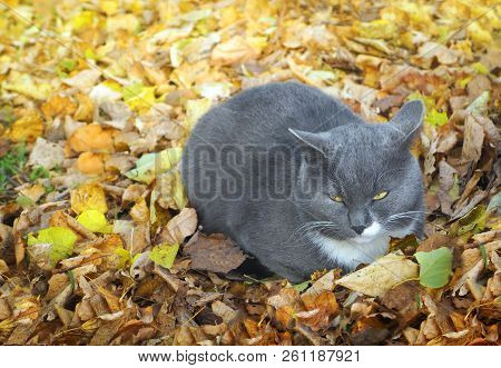 Autumnal Nature, Grey Cat In Fall  Park