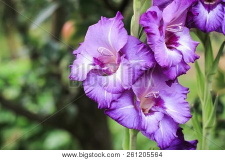 Purple Gladiolus With Three Cups Growing On A Green Background In The Garden, Beautiful Purple Gladi