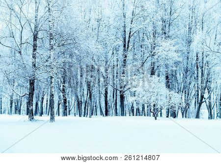 Winter landscape - forest snowy winter trees in cloudy winter weather. Winter nature tranquil scene, winter trees covered with snow in the winter forest