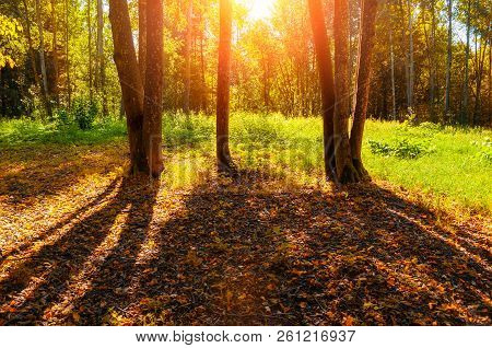 Fall forest trees in sunny September forest lit by evening sunshine. Colorful fall forest landscape with sunbeams breaking through the fall forest trees. Forest fall scene