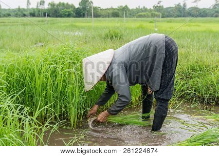 Asia Farmers Are Withdrawn Seedlings Of Rice. Planting Of The Rice Season Be Prepared For Planting.