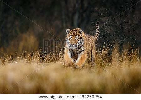 The Siberian Tiger (panthera Tigris Tigris) Also Called Amur Tiger (panthera Tigris Altaica) In The