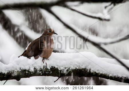 Turtledove on tree during winter snow storm