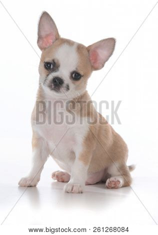 seven week old male chihuahua puppy
