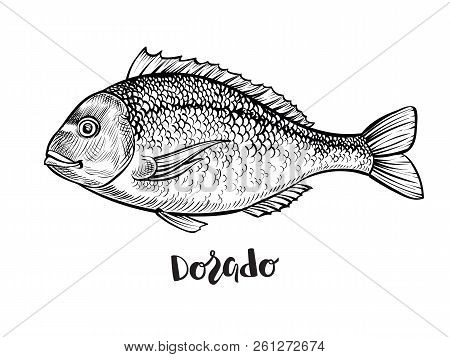 Dorado Fish Hand Drawn Vector Illustration. Black Engraving Line Sketch.