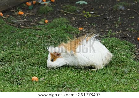 Guinea Pig White With Red Spots Green Kitten Nature Porpoise