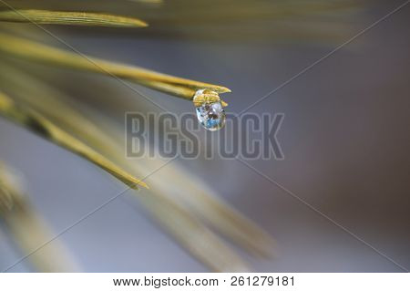 Pine Branch With Frozen Water Droplets On Pine Needles, Freezing Rain On A Pine Bough In Spring