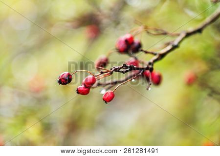 Hawthorn With Red Berry On The Branch, Autumn Rain Water Drops, Bokeh, Shallow Depth Of The Field, T